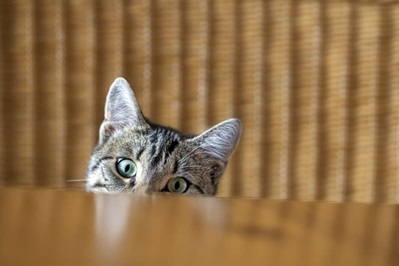 Cat Behind Table