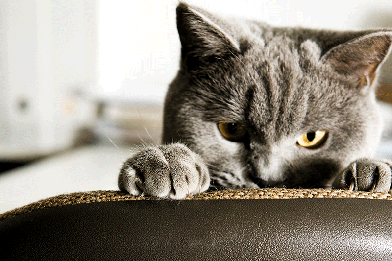 gray tabby peeking over top of chair with paws