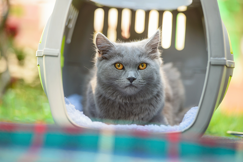 gray cat sitting in pet carrier outside with no door