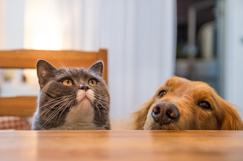 gray cat sitting on kitchen chair next to golden dog face resting on kitchen table