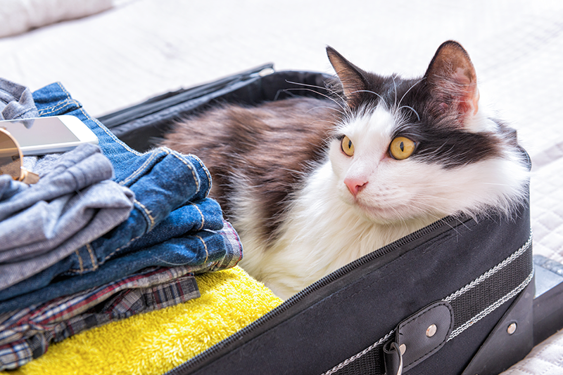 black brown and white long haired cat laying in suitcase next to folded clothes packed