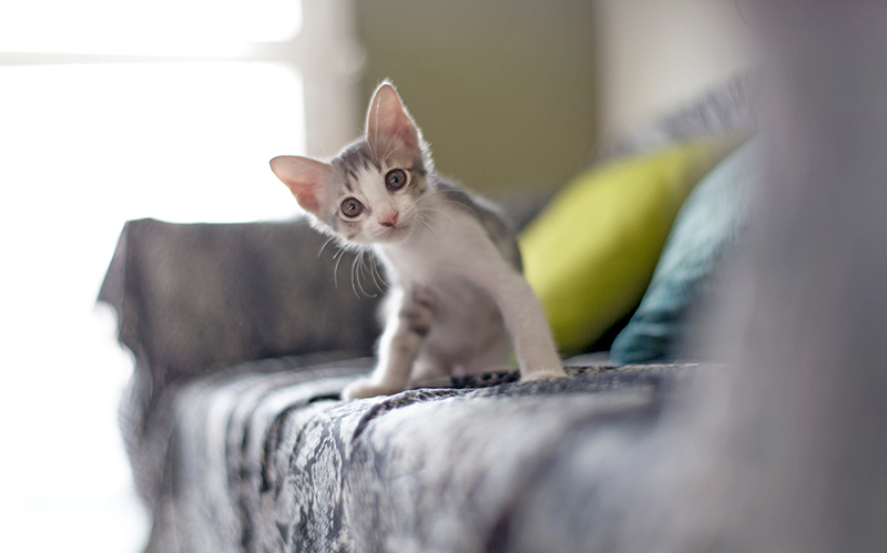 white and gray kitten sitting on gray couch looking curious