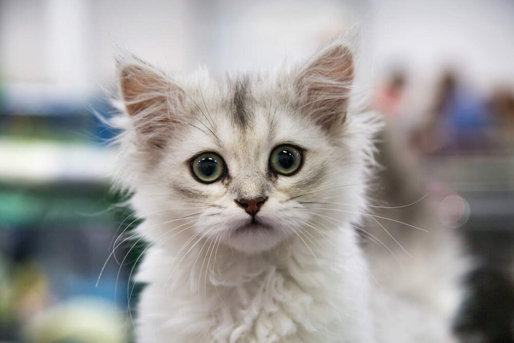 Kittens can certainly be trained like dogs; they just need the right motivators.