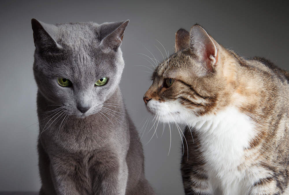 If one cat is a bully, it might be time to step in.