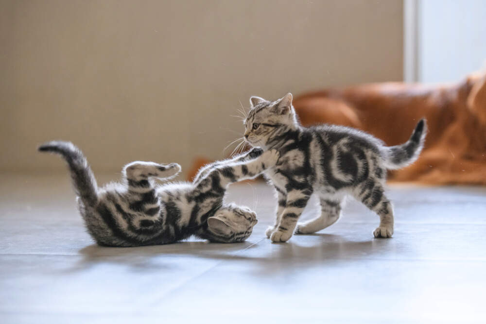 Playing and fighting can look very similar in cats.