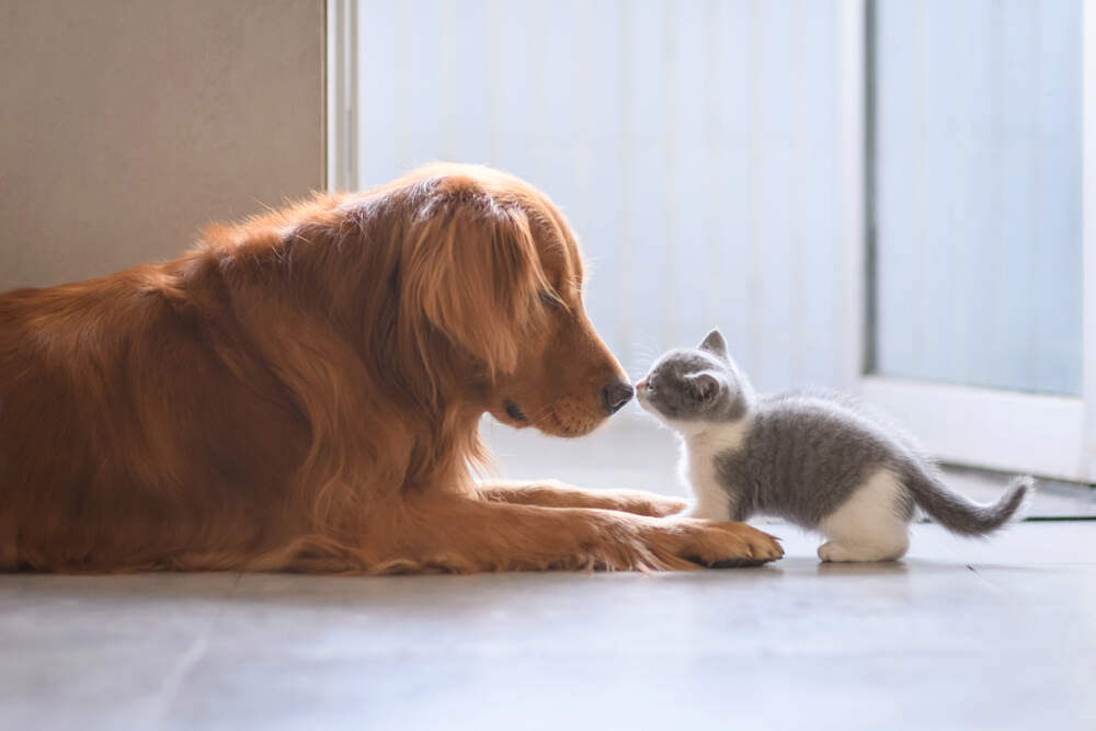Your dog and your kitten might become best friends if you introduce them slowly and with care.