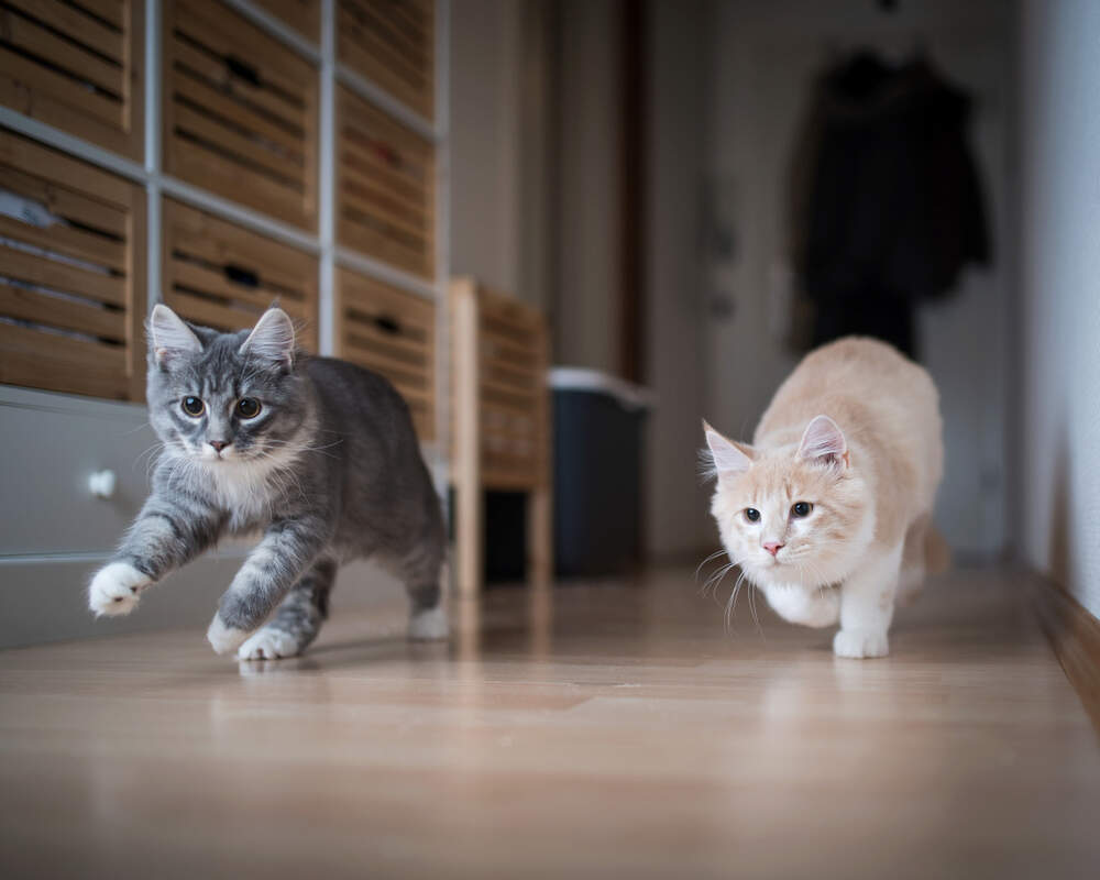 Sometimes stressed cats act out or are mean. But you can help your cats learn to get along again.