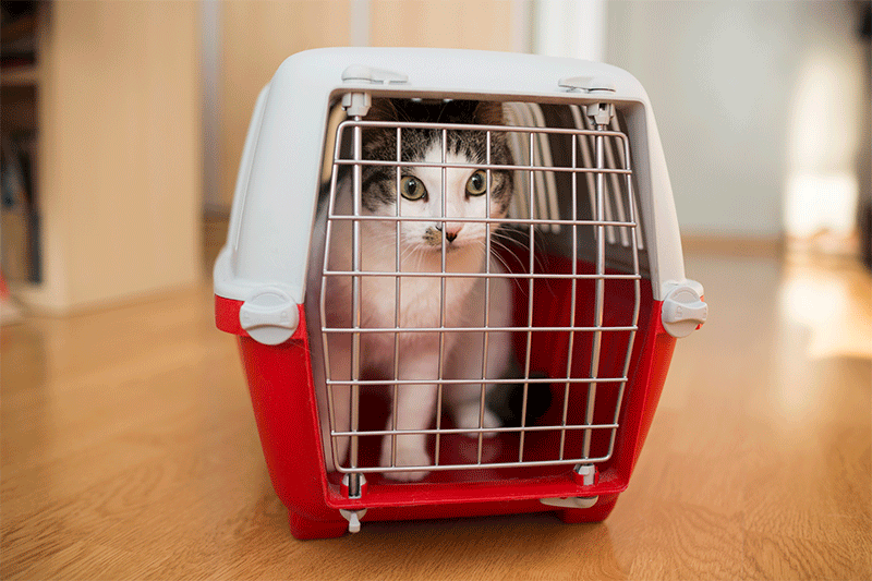 white and brown tabby sitting in closed pet carrier on wooden floor