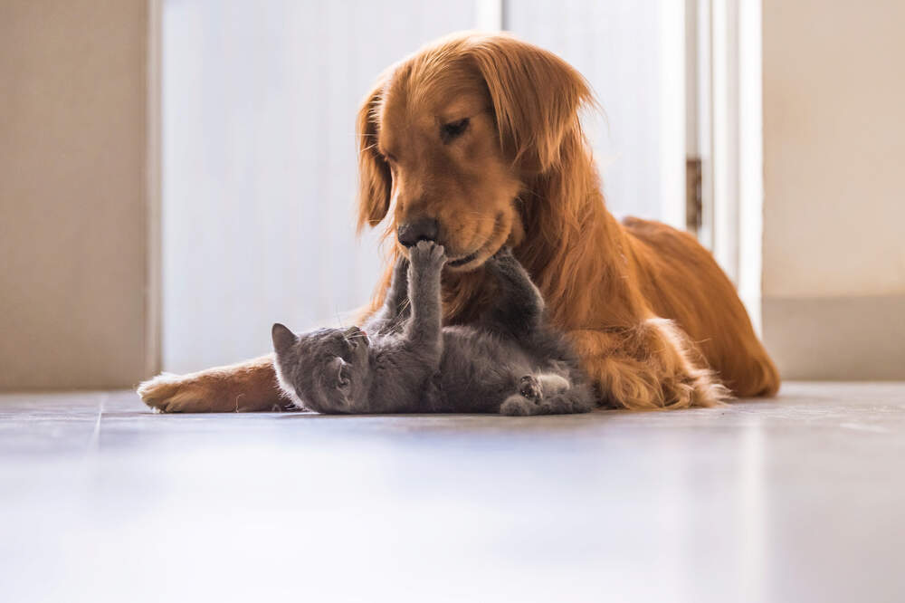Your cat and your dog can often learn to be good friends with the proper training.