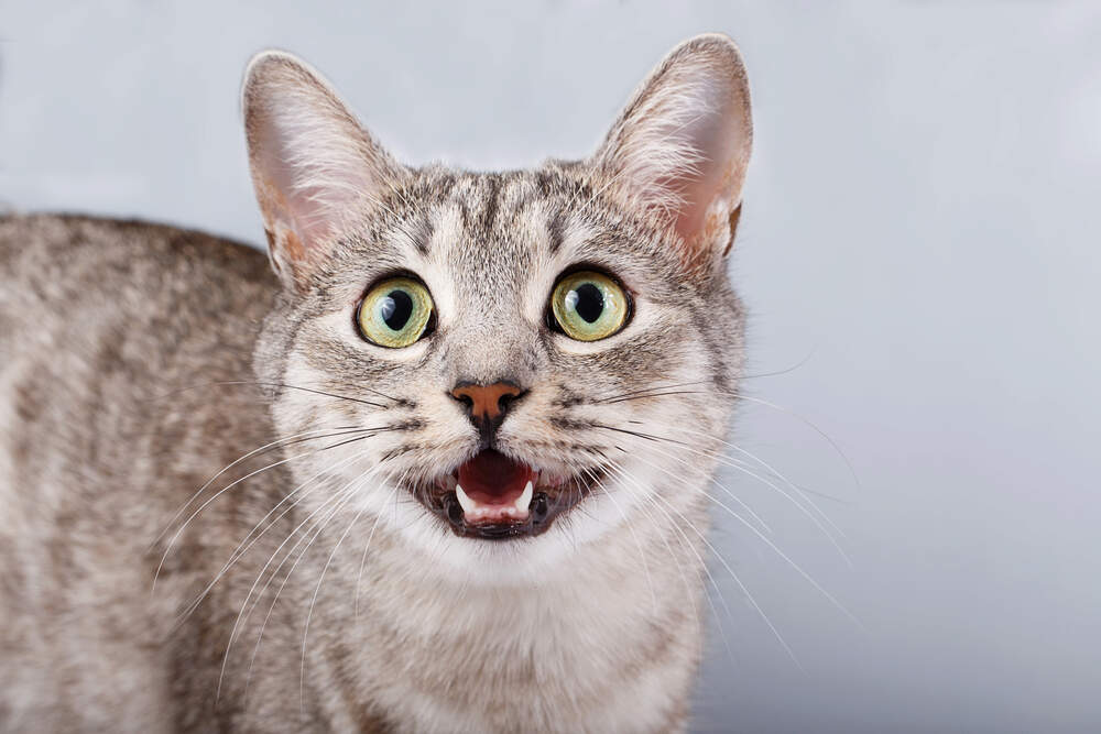 If your cat is meowing more than usual, it might be due to stress.
