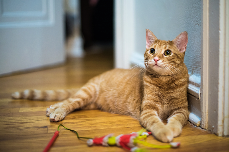 orange tabby laying on wooden floor with cat toy on stick