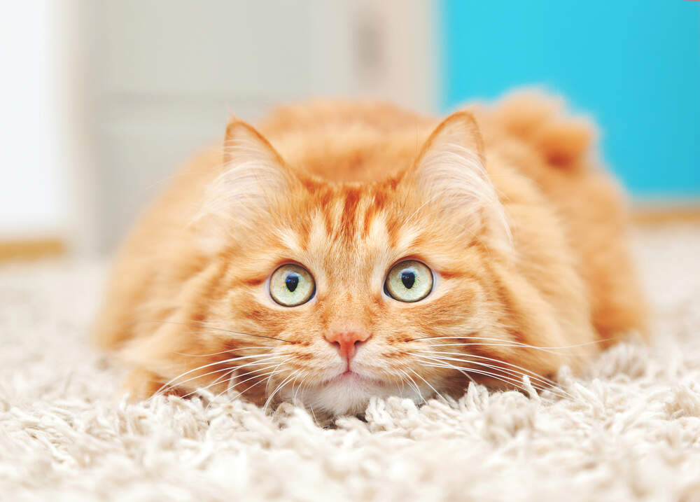 Slow movements, a gentle voice, and a few tricks can help calm a nervous cat.