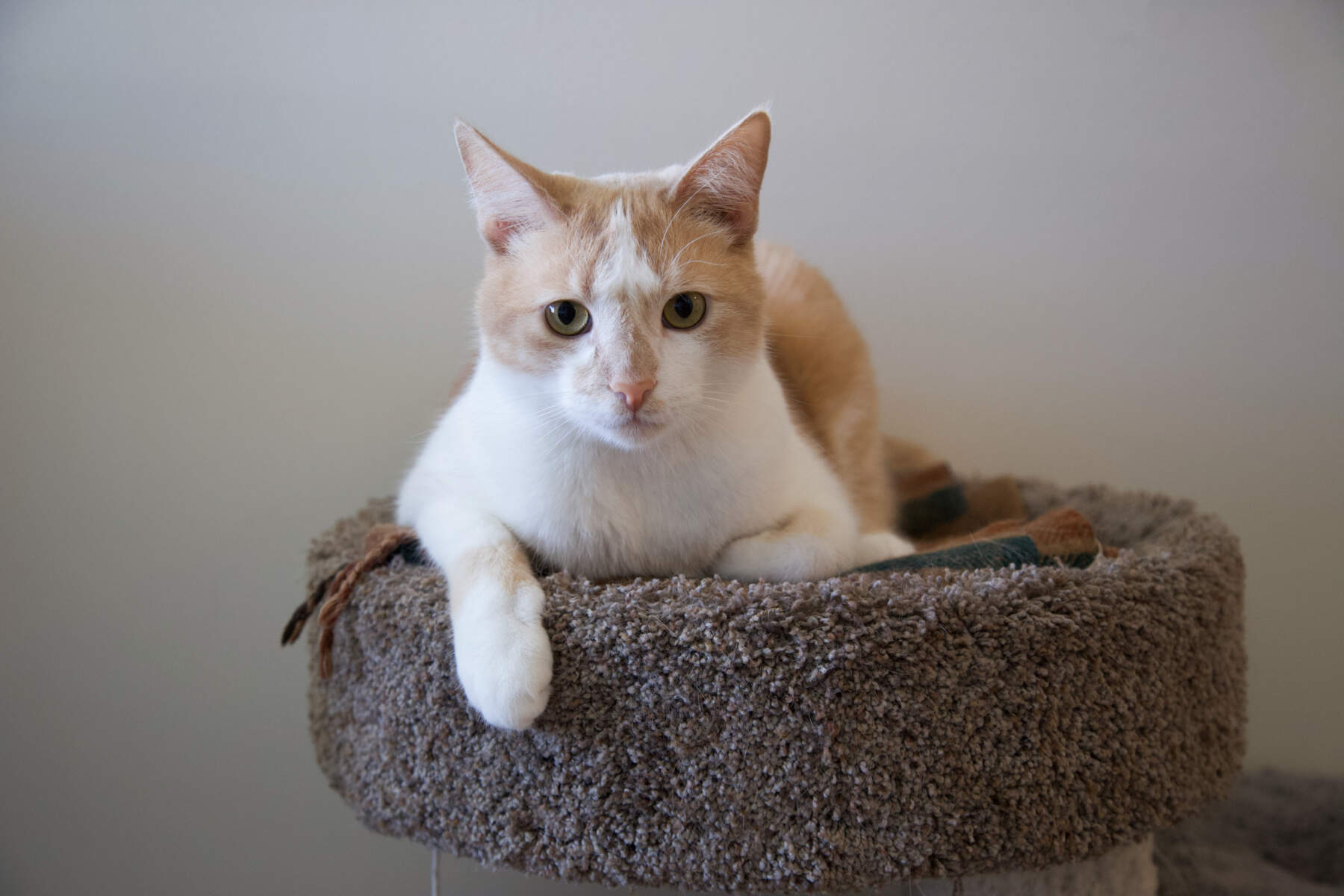 Max the cat relaxes on his cat tree.